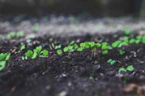 rucola-young-argula-sproutus.jpg